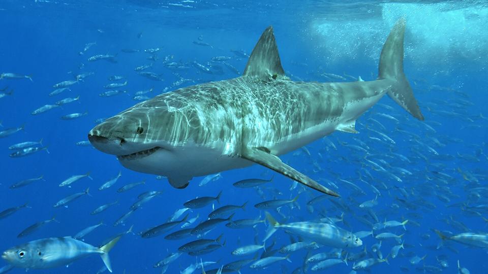 White Shark Café: Discussion & Live Broadcast